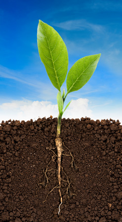 raíz de planta: Planta creciente con la raíz subterránea cielo visible y azul