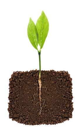 raíz de planta: Planta creciente con la raíz subterránea visible