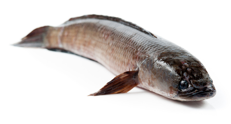 snakehead: Giant snakehead fish on white background