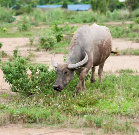 buffalo grass: buffalo eating grass in field.