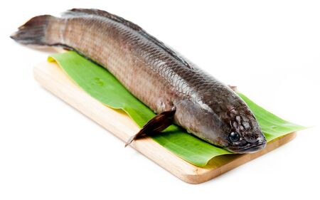 common snakehead: Giant snakehead fish on white background