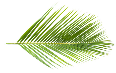 tropical leaves: coconut leaf Stock Photo