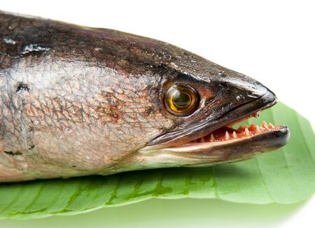 common snakehead: Giant snakehead fish on white background.