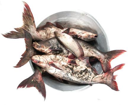 pangasius: Pangasius fish on white background. Stock Photo