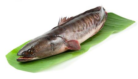 snake head fish: Pesce snakehead gigante su sfondo bianco. Archivio Fotografico