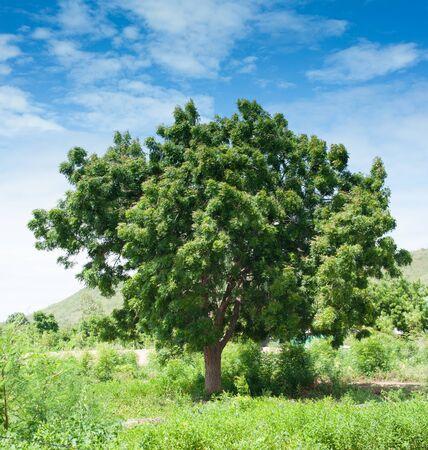 arboles frondosos: paisaje, cielo azul y nubes, campo de hierba verde, �rboles frondosos, d�a soleado, buen tiempo, el concepto de la temporada de verano