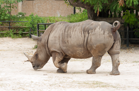 wallowing: Rhino in the zoo. Stock Photo