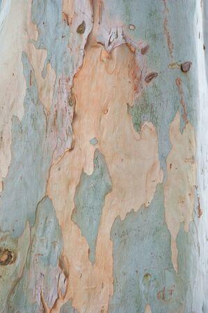 eucalyptus tree: Close up of eucalyptus tree bark, background