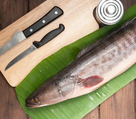 chevron snakehead: Giant snakehead fish on wood