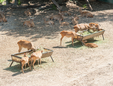 virginianus: cute deer in zoo