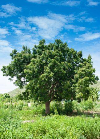 arboles frondosos: paisaje, cielo azul y nubes, campo de hierba verde, árboles frondosos, día soleado, buen tiempo, el concepto de la temporada de verano