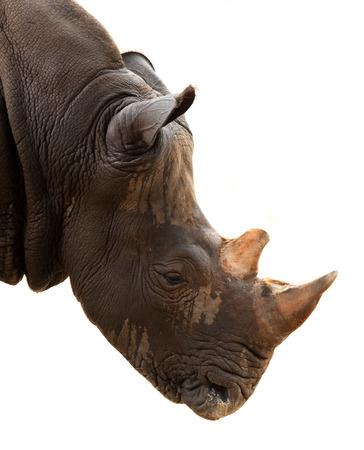 Neushoorn geïsoleerd op een witte achtergrond