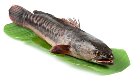 chevron snakehead: Giant snakehead fish on white background.