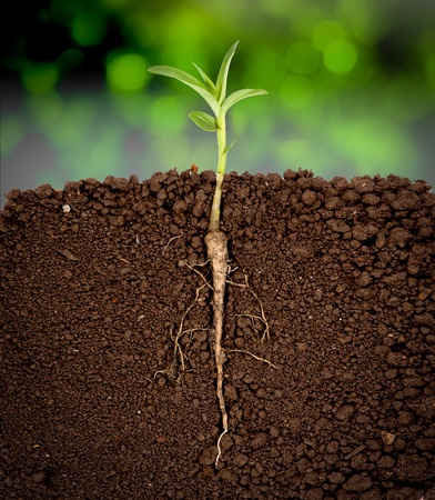 plant growing: Growing plant with underground root visible,sunny trees background