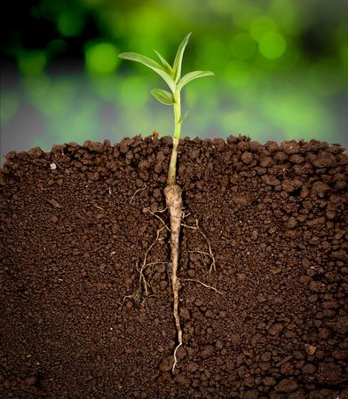 planta con raiz: Planta creciente con la raíz subterránea visible, árboles de sol de fondo