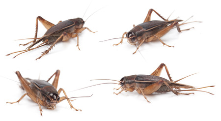insecta: Set of Gryllidae isolated on a white background