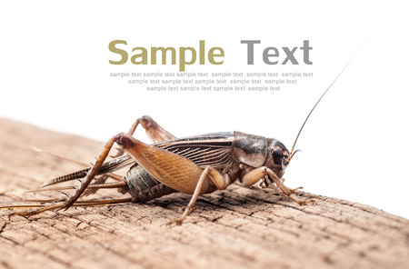 insecta: Gryllidae on wood,Text Space