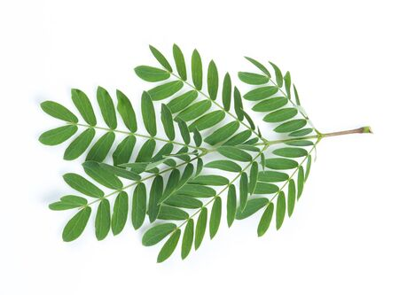 tamarindo: hojas de tamarindo Foto de archivo