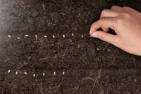 seeding: Hand seeding for planting  into soil,Wheatgrass Seeds