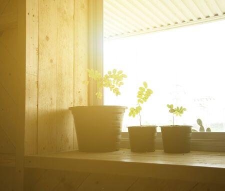 windowsill: Growing plants on a windowsill Stock Photo