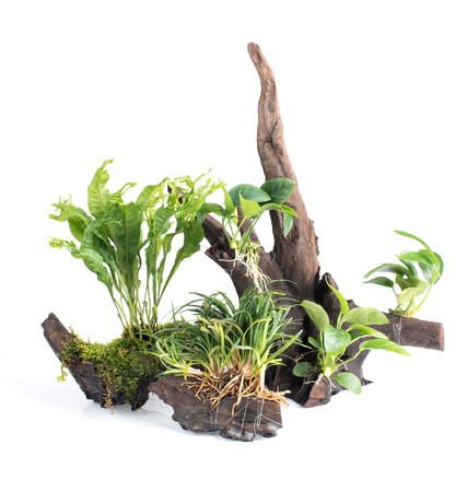 Driftwood with Green leave water plants on white background