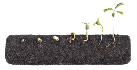 Growing plants,Bean seed germination different stages with underground root visible