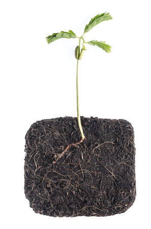 Growing plant (Young bean )with underground root visible