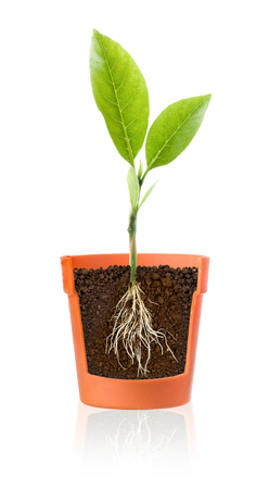 raices de plantas: Growing plant with roots showing in pot on a white background.