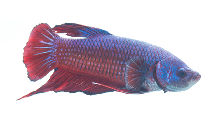 Red and blue siamese fighting fish, betta fish isolated on white background.