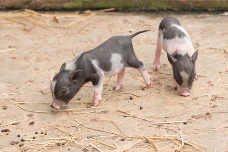 Little piglet in Thailand Farm.