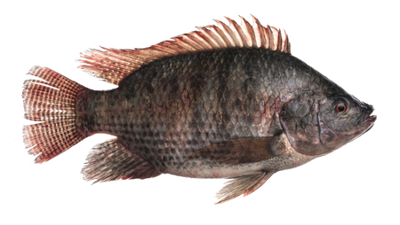 Fresh Tilapia fish isolated on white background