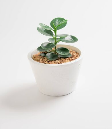 Young ficus elastica a potted plant on white background 版權商用圖片