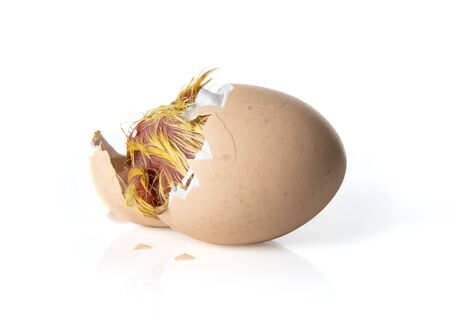 Newborn Yellow chicken hatching from egg on white background