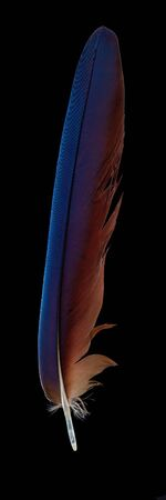 Colorful of macaw bird's feathers with red yellow and blue shades on black background