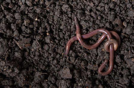 Earthworms (Dendrobena Veneta) in black soil Standard-Bild