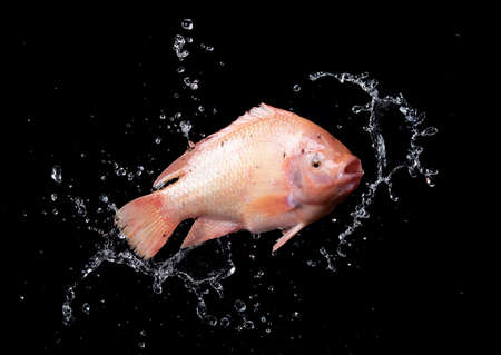 Red tilapia fish with water splash on black background,washes the fish in the water