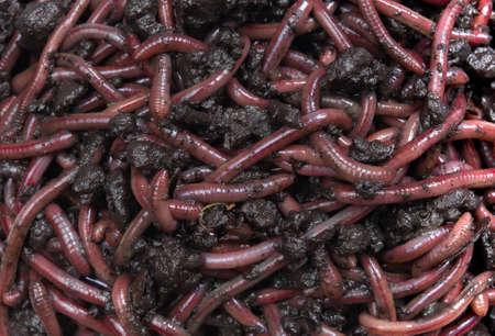 Group of Earthworms (Dendrobena Veneta) in black soil