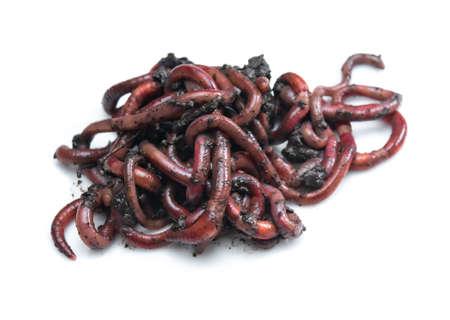 Group of Earthworms (Dendrobena Veneta) in black soil isolation on white background Standard-Bild