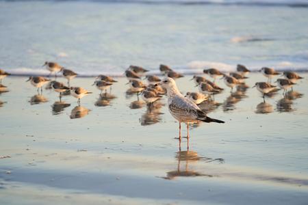 Sea Gull on Beach with Flock of Sanderlings