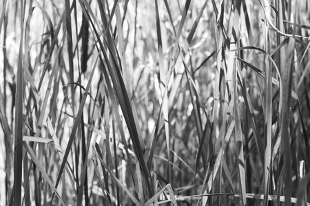 Cattails in black and white with speckled sunlight making an interesting pattern and texture.