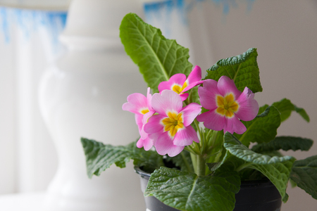 A pink, blooming primrose with a lamp in the background.