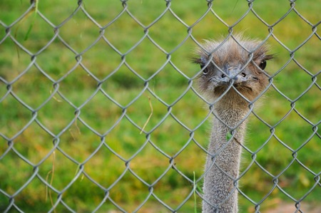 ostrich behind the net. Long distance focus Stock Photo