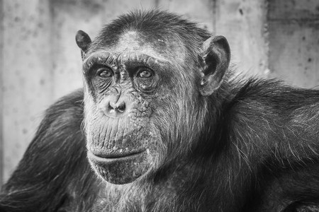 the existing: chimp one of the most intelligent monkeys existing