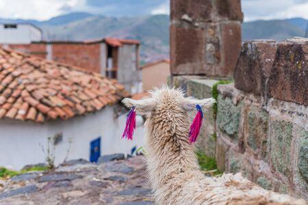 cusco: llama overlooking the houses of cusco Stock Photo