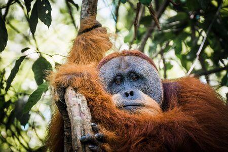 orang: spotting wild orang utans while trekking the jungle of sumatra