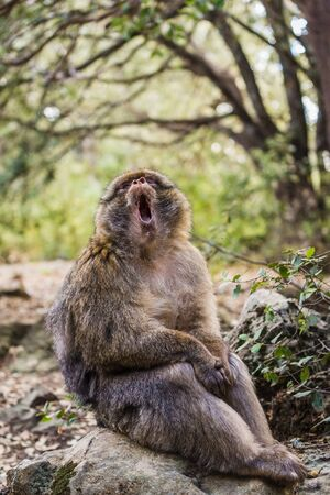 mouthful: monkey with mouth wide open