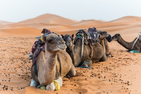gobi desert: selective focus shot of camels in the desert Stock Photo