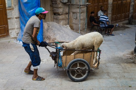 pushed: fes, Morocco - Circa September 2015 - eid el adha lambs pushed in the streets Editorial