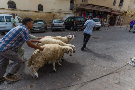 fes: fes, Morocco - Circa September 2015 - eid el adha lambs pushed in the streets Editorial