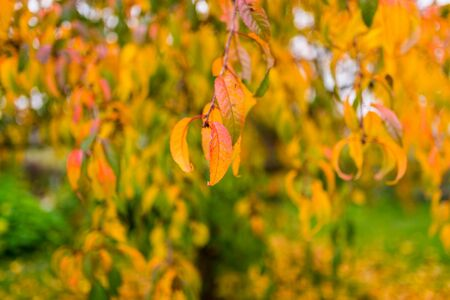 focus shot: selective focus shot of a yellow leaved tree in autumn